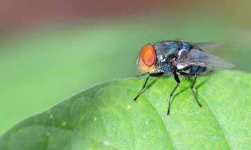 苍蝇如何防治?