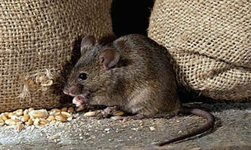 鼠类的危害与防治